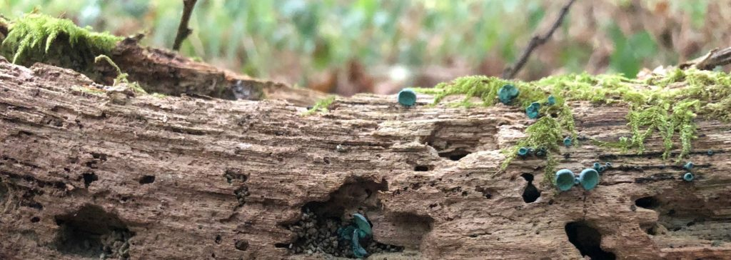 green-elf-cup-fruit-bodies
