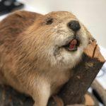 Trevor the beaver