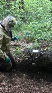 cornwall badger vaccination