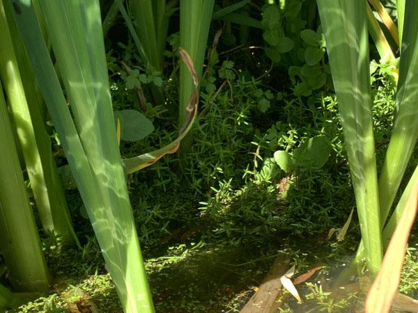 Identification and terrestrial Crassula helmsii